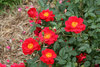 Oso Easy® Urban Legend™ - Landscape Rose - Rosa x