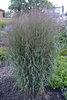 Prairie Winds® 'Apache Rose' - Switch Grass - Panicum virgatum