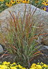'Cheyenne Sky' - Red Switch Grass - Panicum