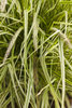 Graceful Grasses® 'Sky Rocket' - Fountain Grass - Pennisetum setaceum 'Rubrum'