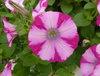 Supertunia® Rose Blast Charm - Petunia hybrid