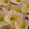 Blanket® Lemon Glow - Petunia hybrid