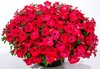 Good and Plenty™ Pomegranate - Petunia hybrid