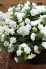 Surfinia® Summer Double™ White - Petunia hybrid