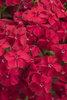 Intensia® Red Hot - Phlox drummondii