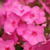 Flame Pink - Dwarf Garden Phlox - Phlox paniculata