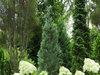 Pinpoint® Blue - False Cypress - Chamaecyparis lawsoniana