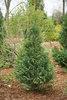 Pinpoint® Blue & Gold - False Cypress - Chamaecyparis lawsoniana