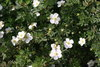 Happy Face® White - Potentilla fruticosa