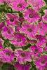 Supertunia® Picasso in Pink® - Petunia hybrid