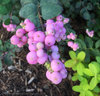 Proud Berry™ - Coral Berry - Symphoricarpos sp.