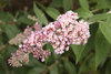 Pink - Butterfly bush - Buddleia