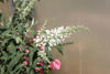 White - Butterfly bush - Buddleia