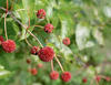 Sugar Shack™ - Buttonbush - Cephalanthus occidentalis