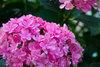 Paraplu® - Bigleaf Hydrangea - Hydrangea macrophylla