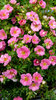 Happy Face® Pink Paradise - Bush Cinquefoil - Potentilla fruticosa