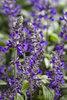 Playin' The Blues® - Salvia longispicata x farinacea