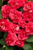 Rockapulco® Red - Double Impatiens - Impatiens walleriana
