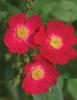 Oso Happy® Candy Oh! - Landscape Rose - Rosa