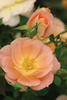 Oso Easy® Peachy Cream - Rose - Rosa