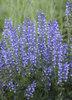 Color Spires® 'Azure Snow' - Perennial Salvia - Salvia hybrid