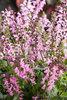 Color Spires® 'Pink Dawn' - Perennial Salvia - Salvia hybrid