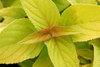 Rockin'® 'Golden Delicious' - Golden Leaved Pineapple Sage - Salvia elegans