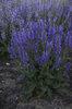 Color Spires® Indiglo Girl - Perennial Salvia - Salvia hybrid
