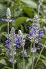 Rockin'® Playin' the Blues® - Salvia longispicata x farinacea