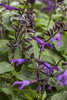 Rockin'® Deep Purple - Salvia hybrid