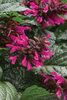 Rockin'® Fuchsia - Salvia hybrid