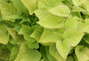 'Sweet Caroline Sweetheart Light Green' - Sweet Potato Vine - Ipomoea batatas