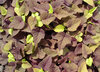 'Sweet Caroline Sweetheart Red' - Sweet Potato Vine - Ipomoea batatas