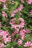 Whirlwind® Pink - Fan Flower - Scaevola aemula