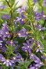 Whirlwind® Blue - Fan Flower - Scaevola hybrid