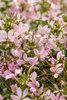 Senorita Mi Amor® - Spider Flower - Cleome hybrid