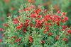 Sister Redhead™ - Scotch Broom - Cytisus scoparius