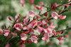 Sister Rosie® - Scotch Broom - Cytisus scoparius