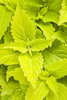 ColorBlaze® Lime Time™ - Coleus - Solenostemon scutellarioides