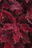 ColorBlaze® Royale Cherry Brandy™ - Coleus - Solenostemon scutellarioides