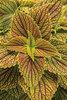 ColorBlaze® Golden Dreams™ - Coleus - Solenostemon scutellarioides