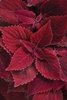 ColorBlaze® Rediculous™ - Coleus - Solenostemon scutellarioides