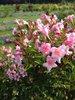 Sonic Bloom® Pure Pink - Weigela florida
