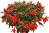 Summerwings® Coral Elegance - Tuberous Begonia - Begonia boliviensis