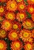 Sundaze® Blaze - Strawflower - Bracteantha (Xerochrysum) hybrid