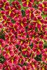 Superbells® Cardinal Star™ - Calibrachoa hybrid