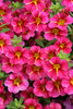 Superbells® Cherry Star™ - Calibrachoa hybrid