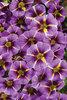 Superbells® Evening Star™ - Calibrachoa hybrid