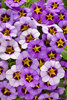Superbells® Evening Star - Calibrachoa hybrid