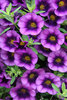 Superbells® Grape Punch - Calibrachoa hybrid